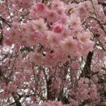 副業仲間と楽しい時間。桜を眺めながら「稼ぐ力」も磨きます